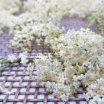 Holunderblütenernte - so pflückt man Holunderblüten