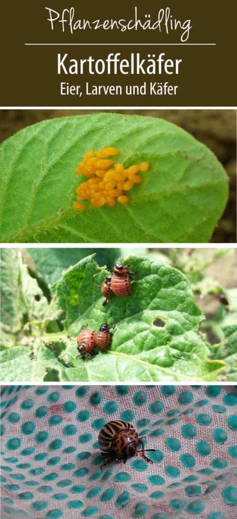 Die drei Stadien des Kartoffelkäfers: Eier vom Kartoffelkäfer - Larven - ausgewachsene Käfer