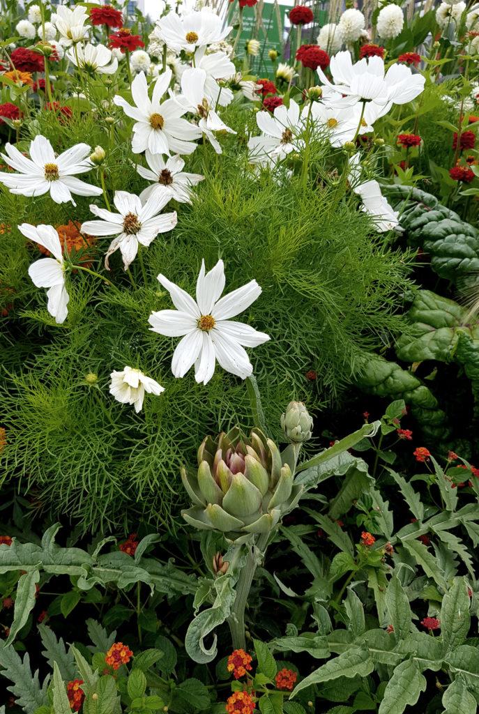 Artischocke Mangold und Cosmee_Mischkultur aus Nutzpflanzen und Zierpflanzen