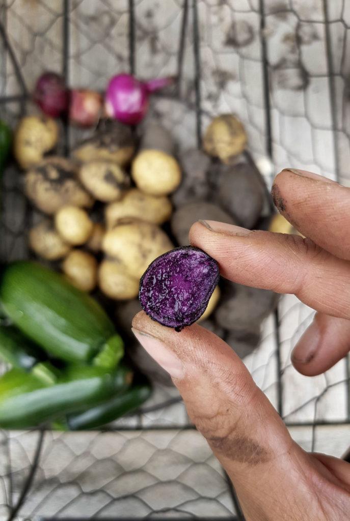 Ernte im Gemüsegarten - Blaue Kartoffel St Galler