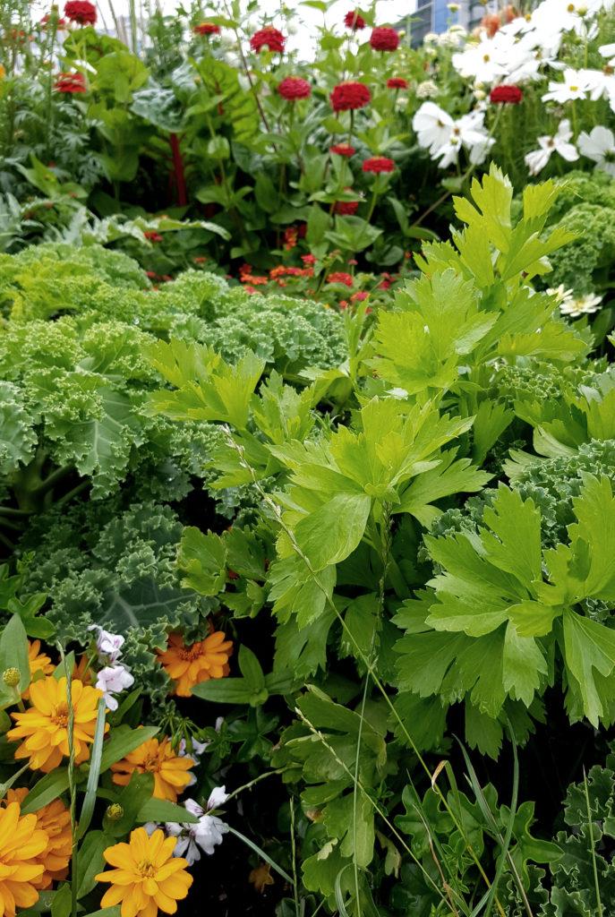 Kohl Stangensellerie und Dahlien_Mischkultur aus Nutzpflanzen und Zierpflanzen