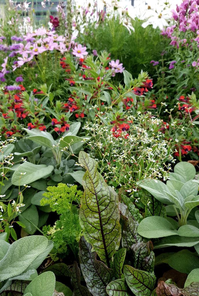 Sauerampfer Petersilie und Stauden_Mischkultur aus Nutzpflanzen und Zierpflanzen