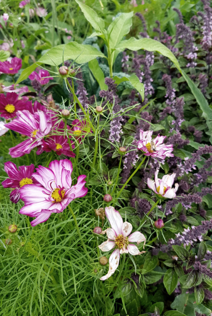 Strauchbasilikum und Cosmee_Mischkultur aus Nutzpflanzen und Zierpflanzen