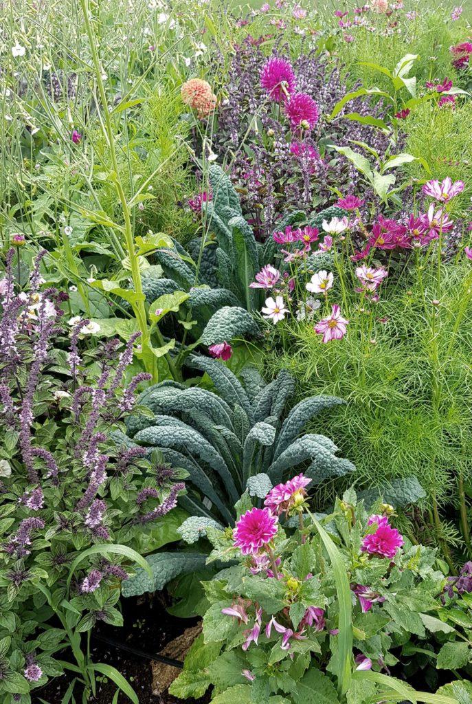 Strauchbasilikum Palmkohl Dahlien_Mischkultur aus Nutzpflanzen und Zierpflanzen