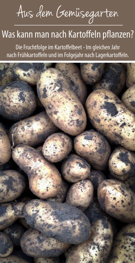 Was kann man nach Kartoffeln pflanzen? Fruchtfolge im Kartoffelbeet