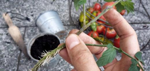 Tomaten vermehren durch Geiztriebe