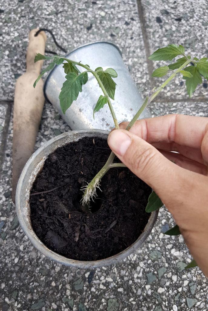 Tomatenpflanzen aus Geiztrieben ziehen