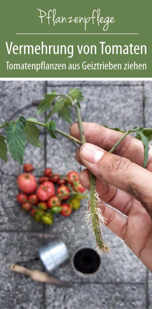 Tomatenpflanzen aus Geiztrieben ziehen - Tomatenvermehrung