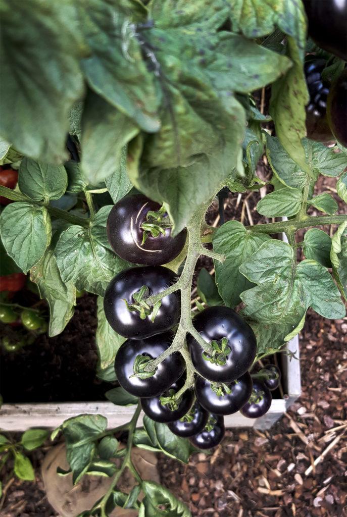 Schwarze Tomaten Indigo Rose