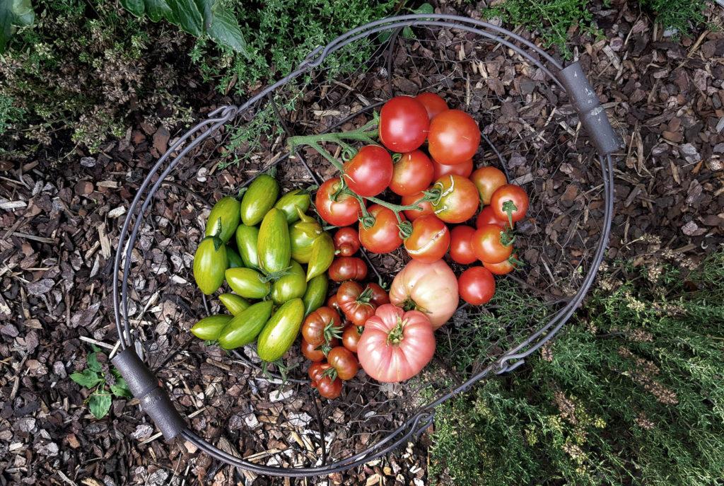 Tomatenernte-verschiedene-Sorten