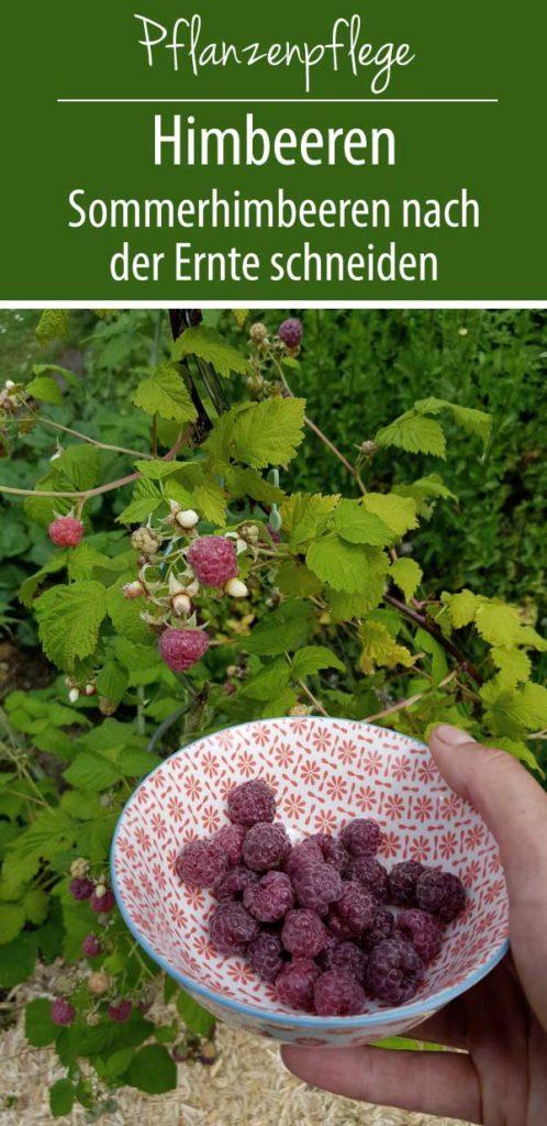 Himbeeren - Sommerhimbeeren schneiden nach der Ernte