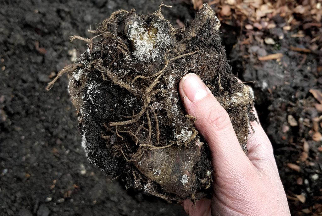 Yaconrhizom vor der Pflanzung