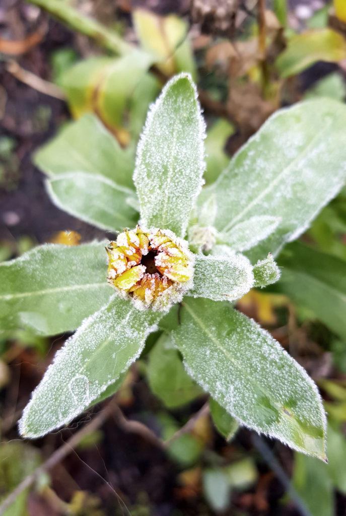 Ringelblume im Frost