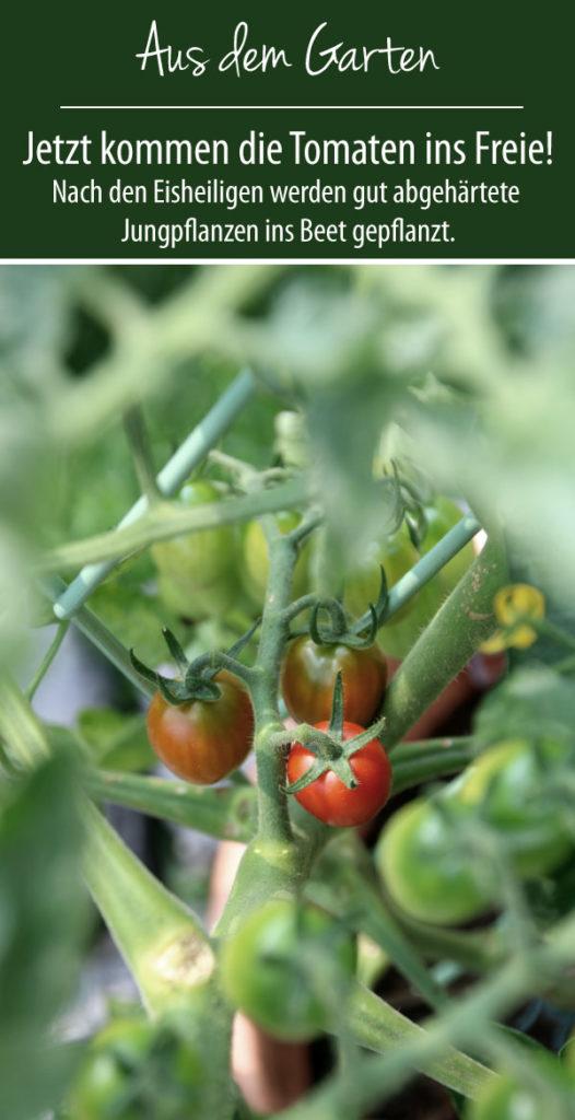 Jetzt kommen die Tomaten ins Freie! Eisheilige