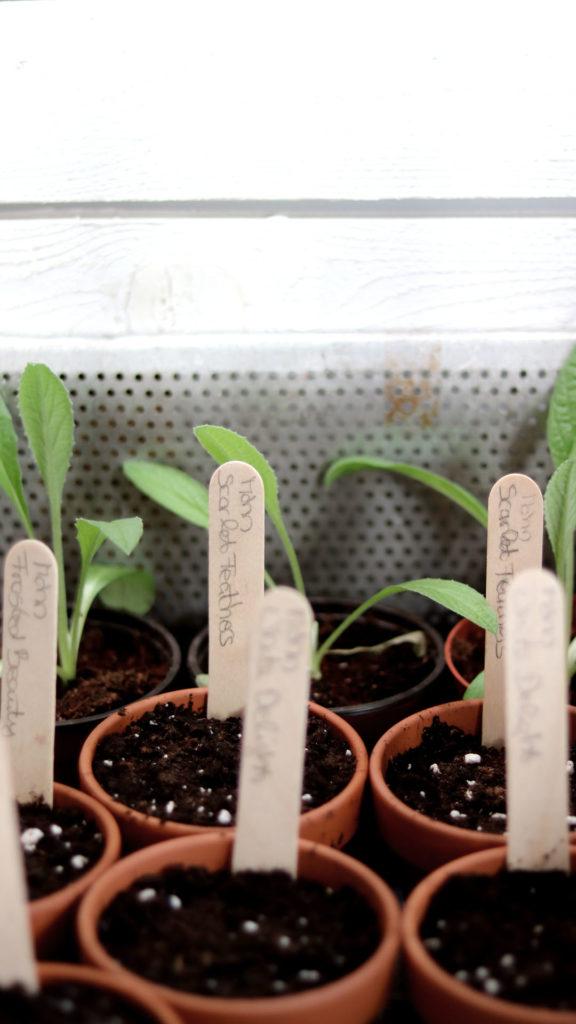 Welche Erde wird zum Pikieren verwendet? Anzuchterde oder gedüngte Pflanzenerde