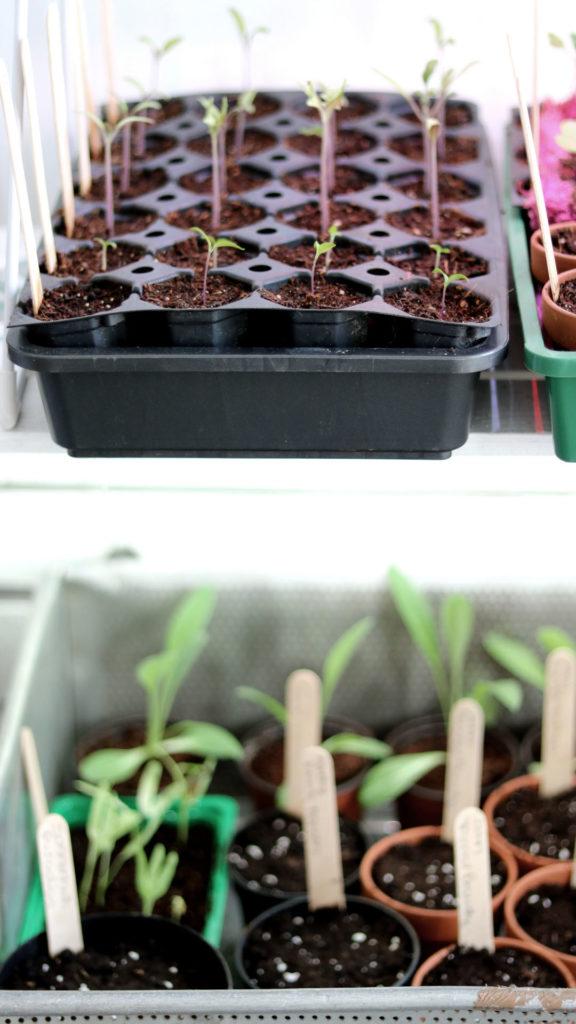 Mit welcher Erde wird pikiert. Anzuchterde oder Pflanzenerde zur Pflanzenanzucht.