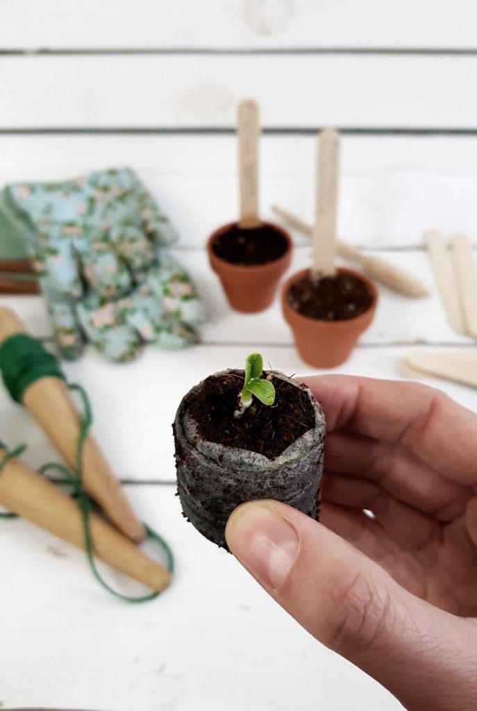 Artischocken aus Samen vorziehen