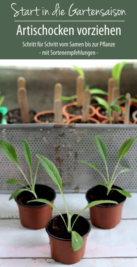 Artischocken vorziehen Schritt für Schritt vom Samen bis zur Pflanze - mit Sortenempfehlungen -
