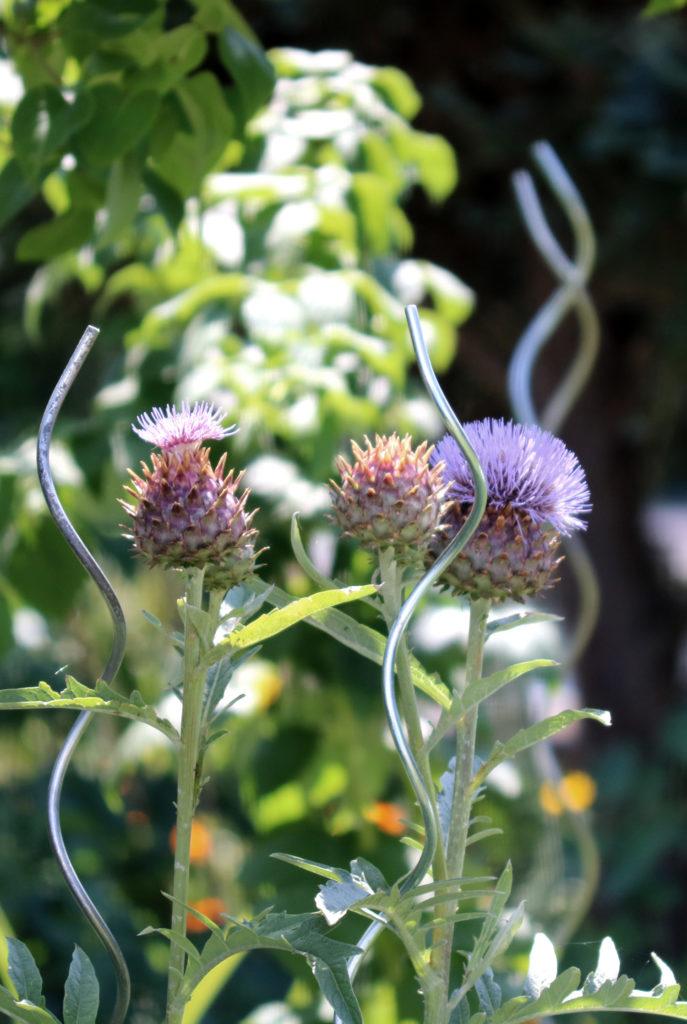 Blühende Artischocken im Garten