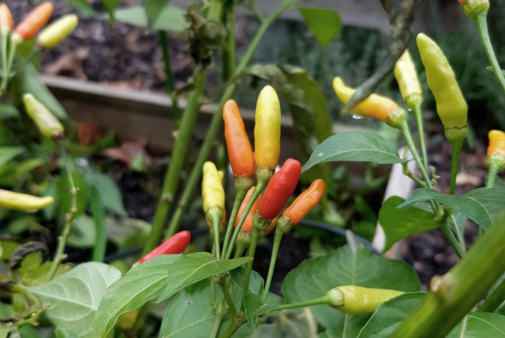 Tabasco anbauen im Garten
