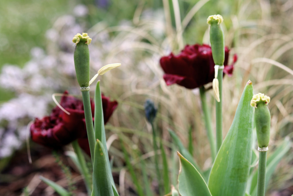 Ende der Tulpenzeit