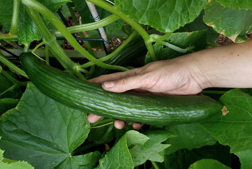 5 Tipps für Gurken aus dem Garten