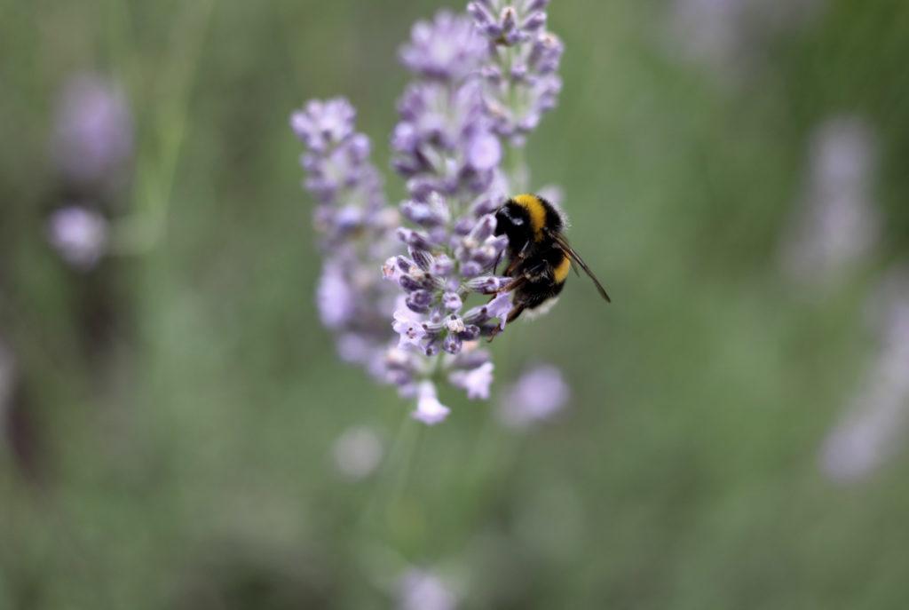 Lavendel beschneiden im Sommer für zweite Blüte