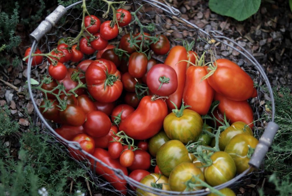 Tomaten im Gewächshaus Sortenvielfalt