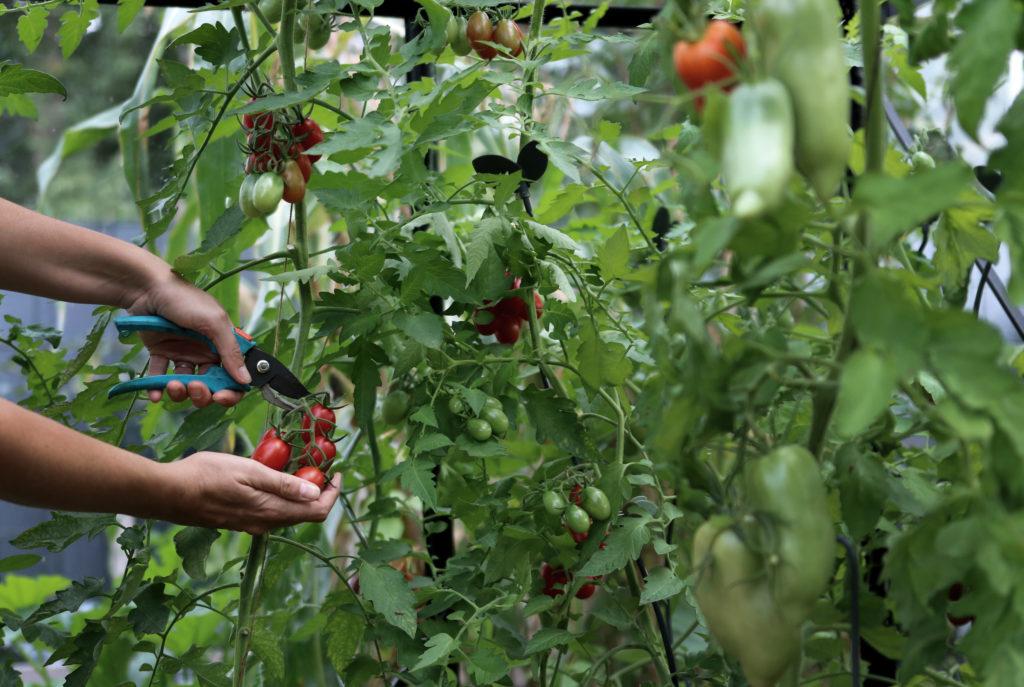 Tomaten im Gewächshaus oder Freiland anbauen