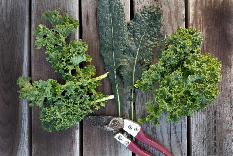 Grünkohl im winterlichen Gemüsegarten   Sortenempfehlungen