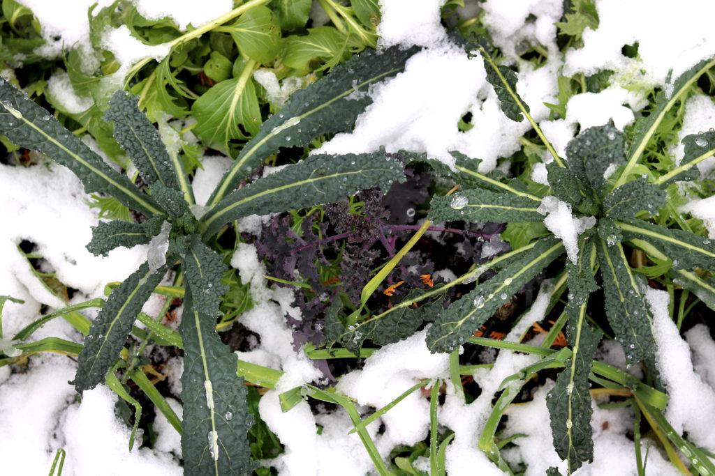 Grün- und Federkohl im Gemüsegarten