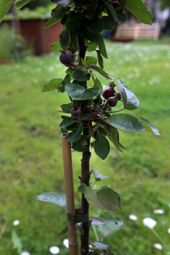 Zwergsäulenbaum mit roten Äpfeln