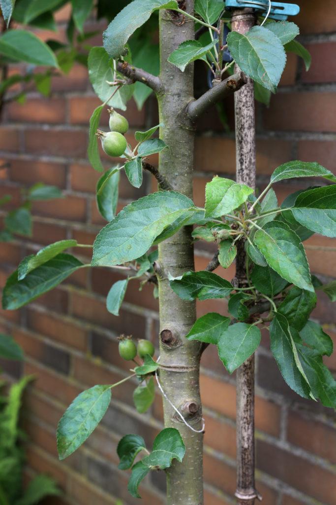 Obstbäume für kleine Gärten und Balkone