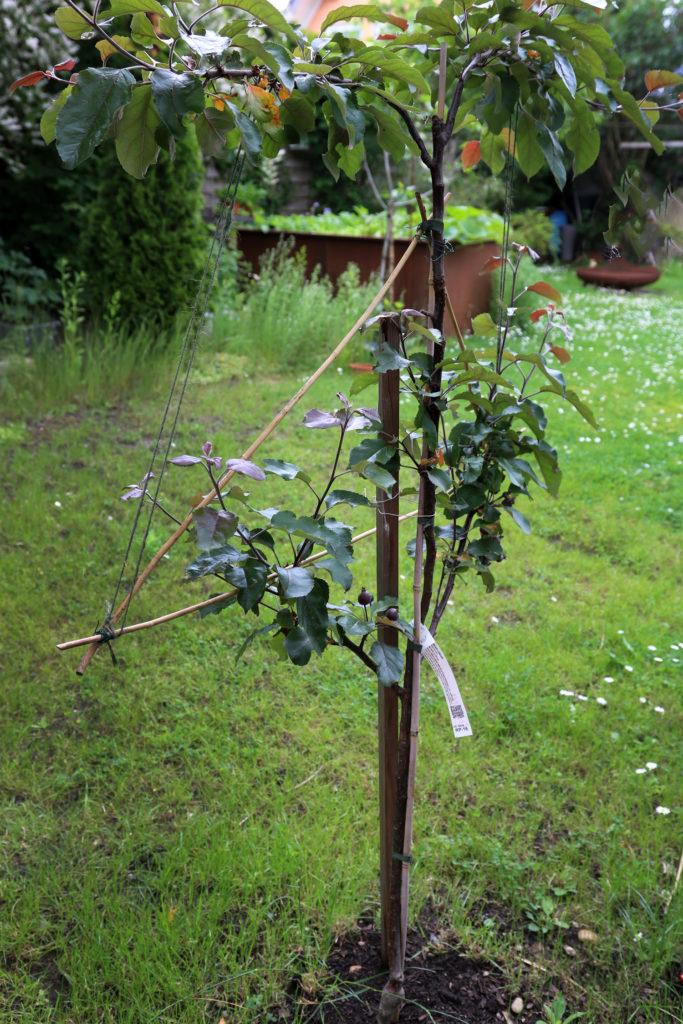 Spalierbaum Obstbäume für kleine Gärten und Balkone