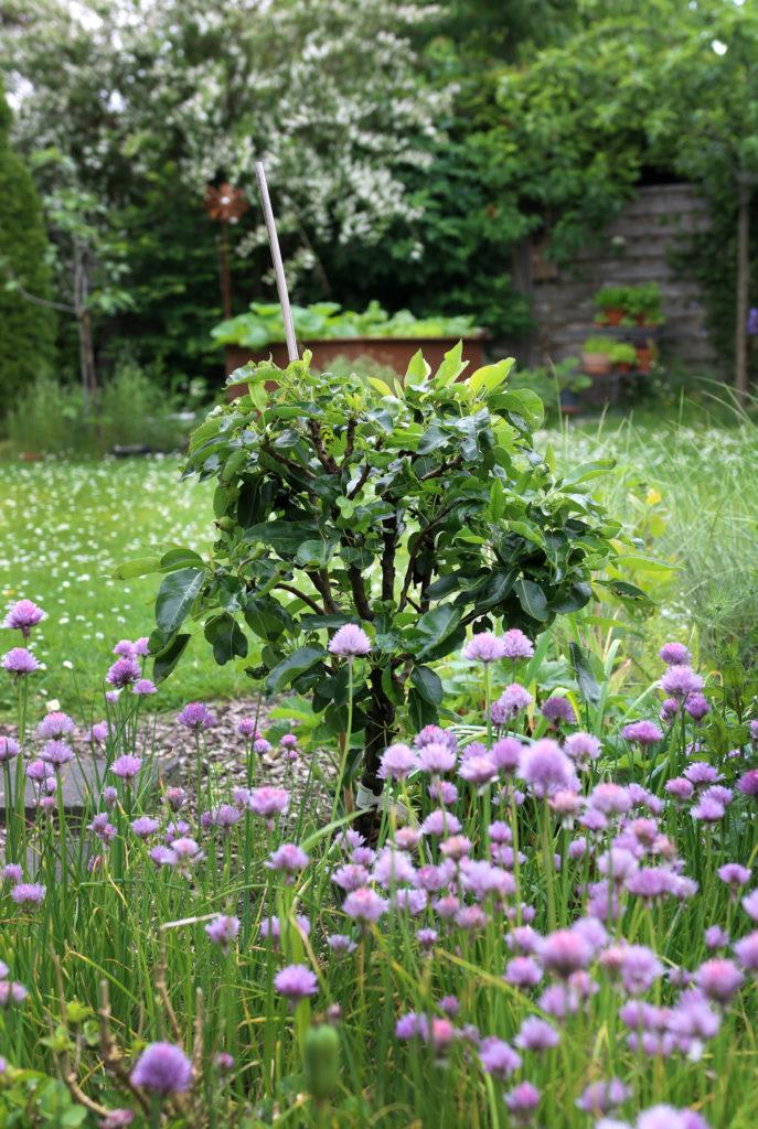 Minibirnenbaum im Garten