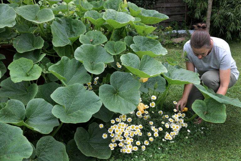 Hokkaido anbauen und ernten